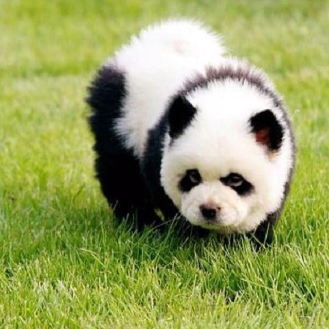 Chow chow panda filhote
