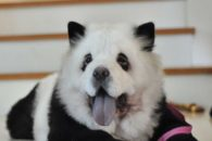 Chow chow panda: fotos desse cãozinho com cara de urso