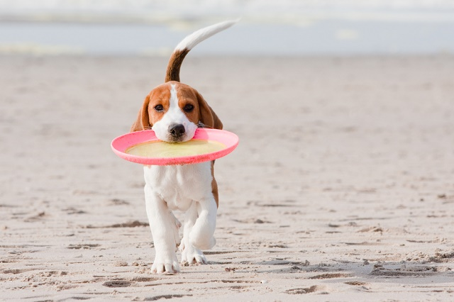 Cão na praia com disco na boca
