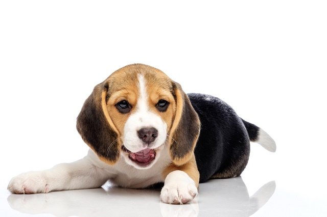 Beagle fazendo careta