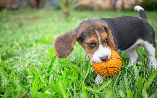 Beagle com a bola na boca
