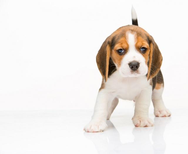 Filhote de beagle com cara feia
