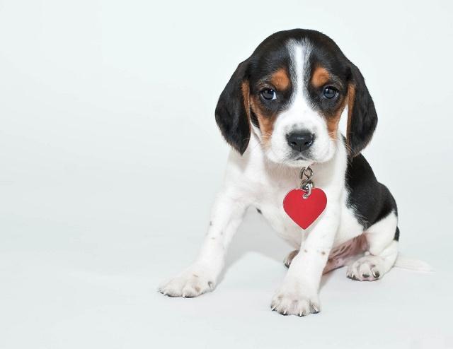Beagle com colar de coração