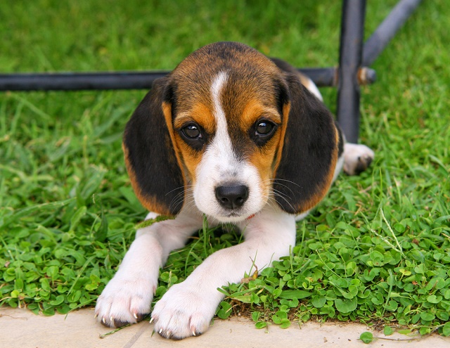 Beagle deitado na grama