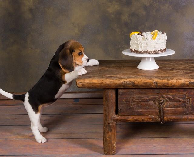 Beagle olhando para um bolo