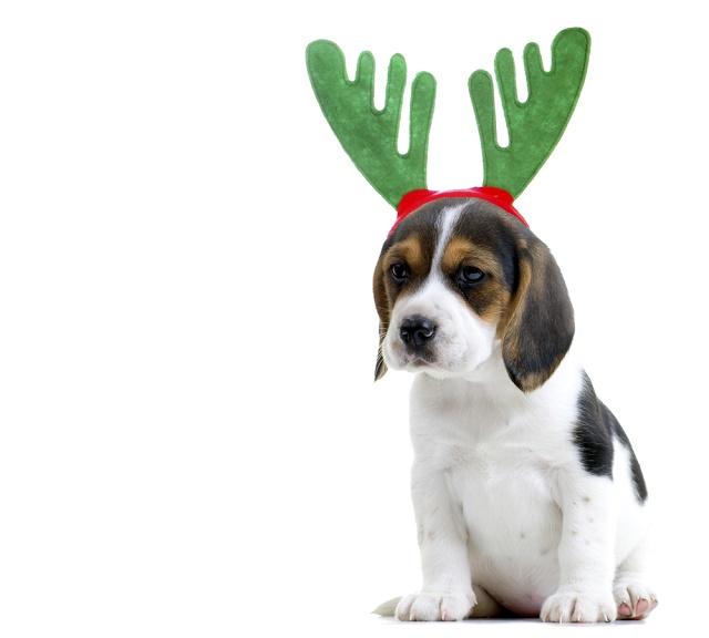 Beagle com tiara de rena