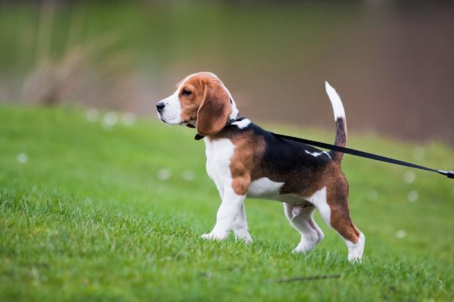 Beagle passeando de coleira