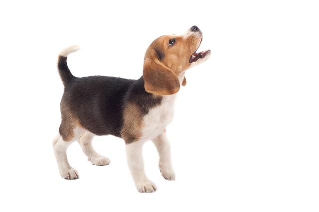 Beagle latindo olhando para cima