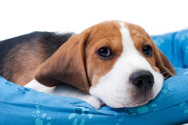 Beagle deitado na caminha