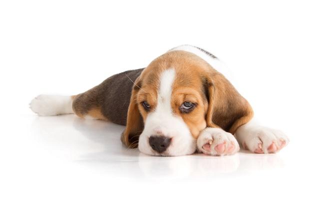 Beagle tristinho