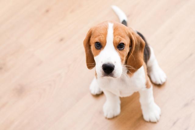 Beagle sentado olhando para foto