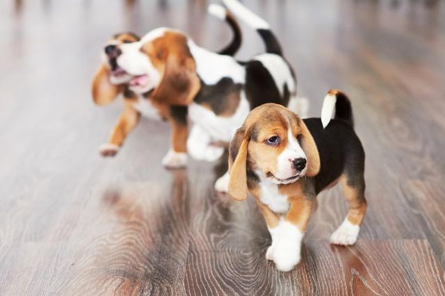 Três beagles na sala