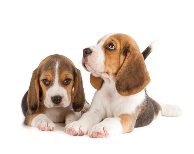 Dois beagles deitados