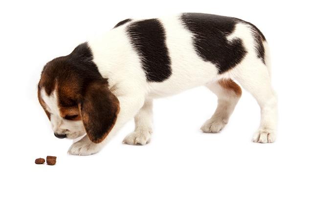 Beagle filhote comendo ração