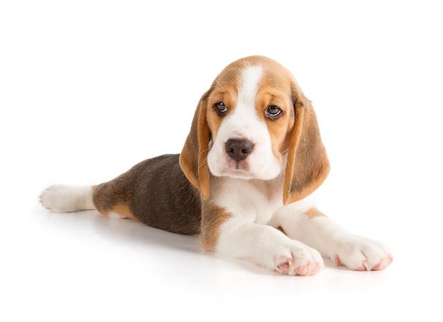 Beagle filhote deitado e sério