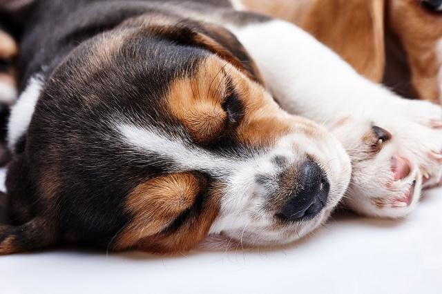 Beagle filhote dormindo