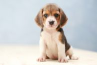 50 fotos de filhotes de beagles