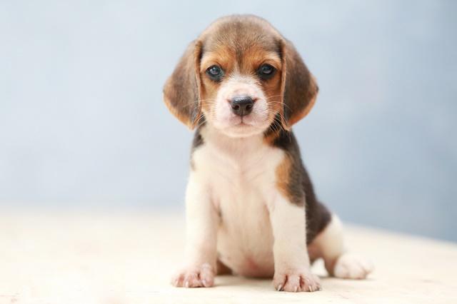 Beagle sentado olhando para câmera
