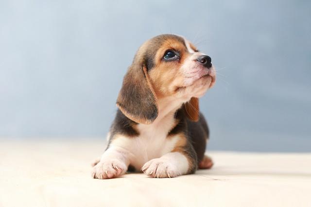 Beagle pequeno olhando para cima
