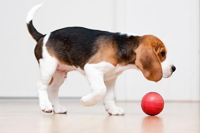 Beagle brincando com bola
