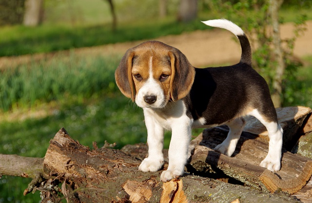 Beagle filhote no parque