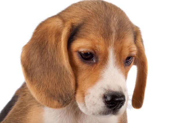 Beagle filhote olhando para baixo
