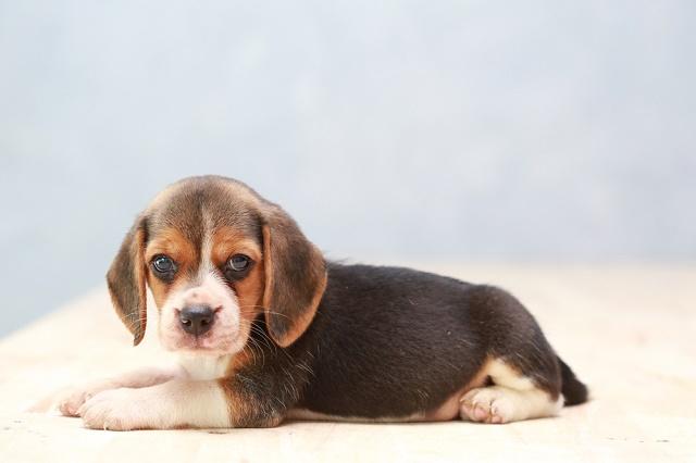 Beagle filhote deitado