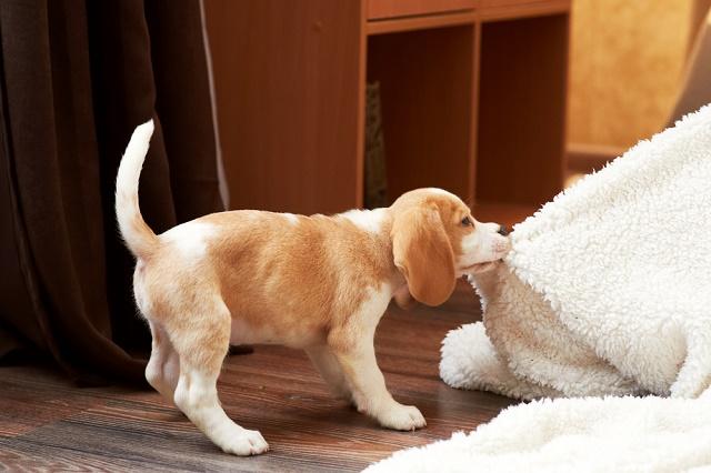 Beagle puxando pano