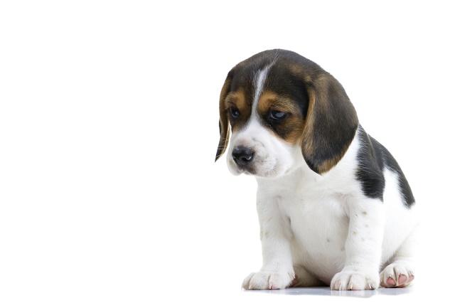 Beagle filhote triste