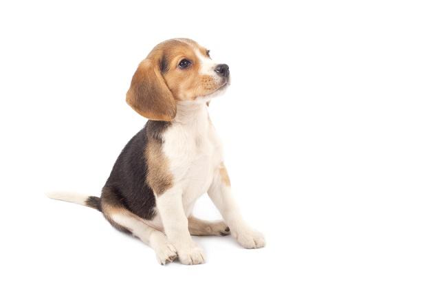 Beagle filhote sentado