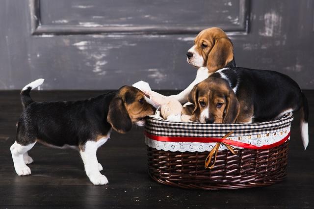 Três beagles e uma cesta