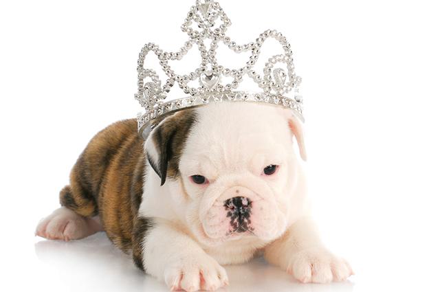 Cachorro com coroa
